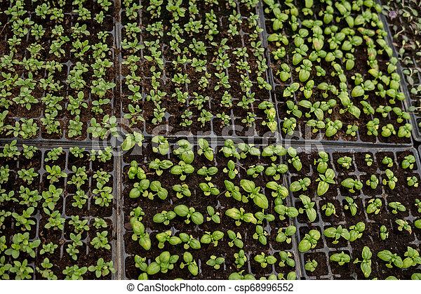 small seedlings of vegetables - csp68996552