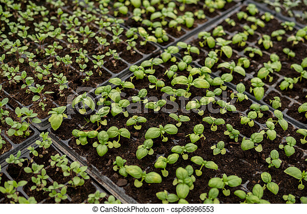 small seedlings of vegetables - csp68996553