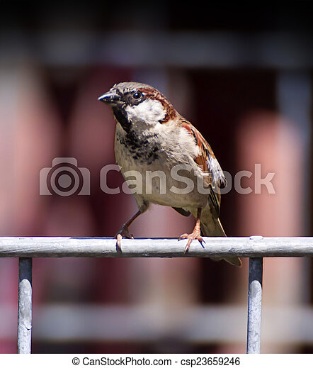 small sparrow close up - csp23659246
