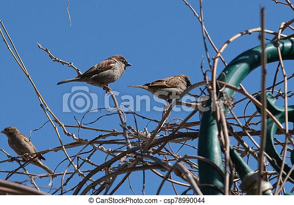 Small sparrow on twig closeup. - csp78990044