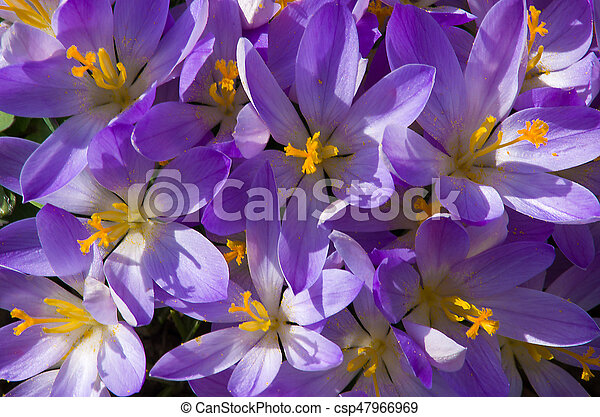 Small spring flowers blooming crocuses gently in early spring small spring flowers blooming crocuses gently csp47966969 mightylinksfo