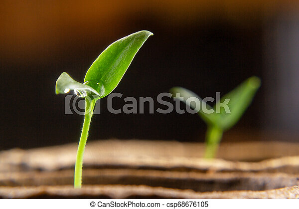 Small sprouts of pepper plant in a paper pot - csp68676105