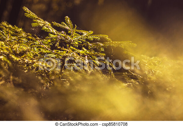small spruce - close up view of a young evergreen tree in the dark forest, under the glare of the sun - csp85810708