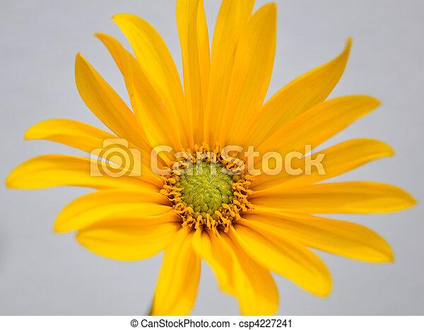 Small sunflower - csp4227241