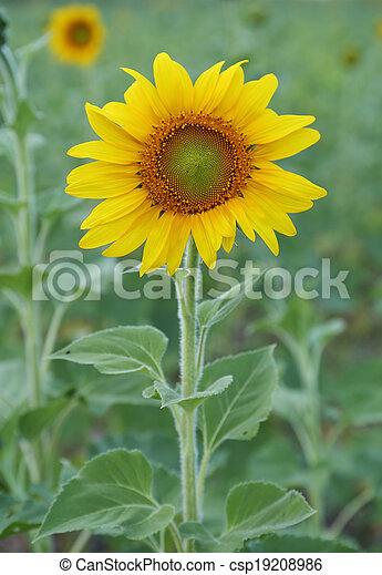 small sunflower - csp19208986