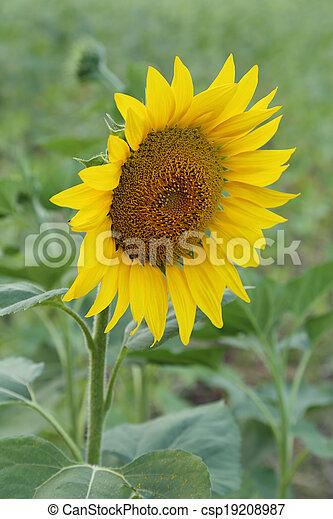 small sunflower - csp19208987