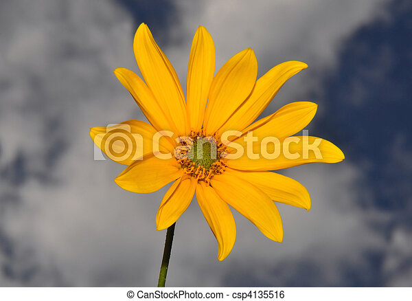 Small sunflower - csp4135516