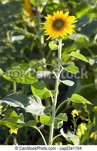 Small Sunflower - csp2341164