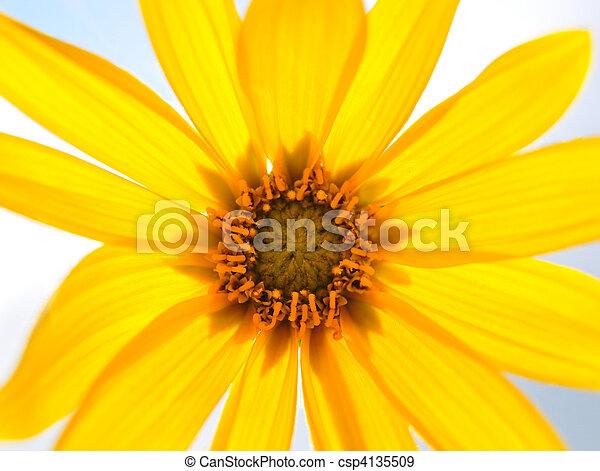 Small sunflower - csp4135509