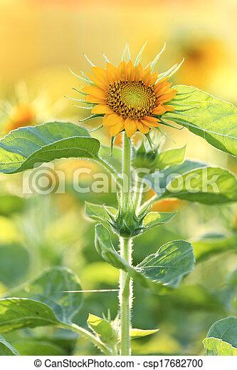 Small sunflower - csp17682700
