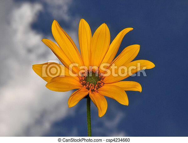Small sunflower - csp4234660