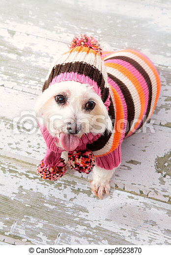 Small terrier wearing winter fashion - csp9523870