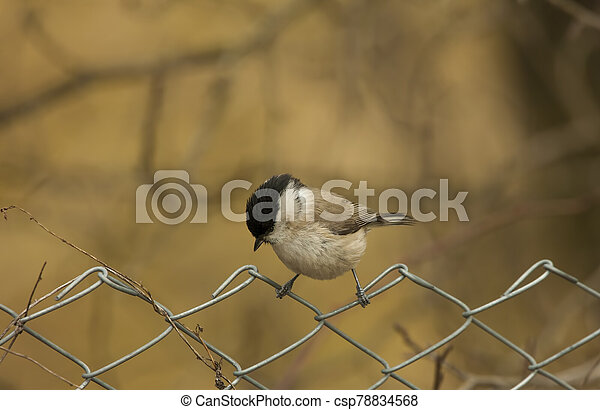small tit bird on the fence. Europe wildlife - csp78834568