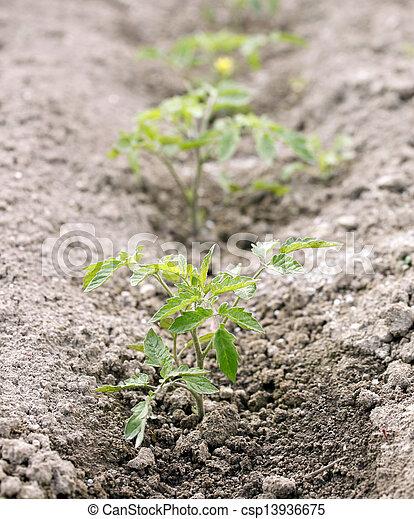 Small tomato plant - csp13936675