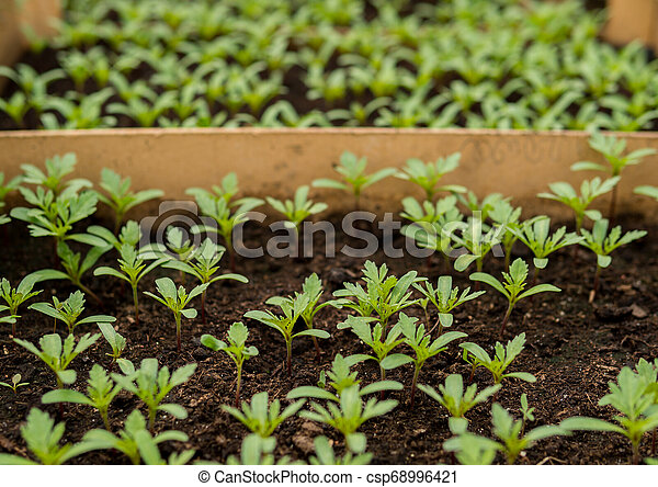 small tomatoes seedlings - csp68996421