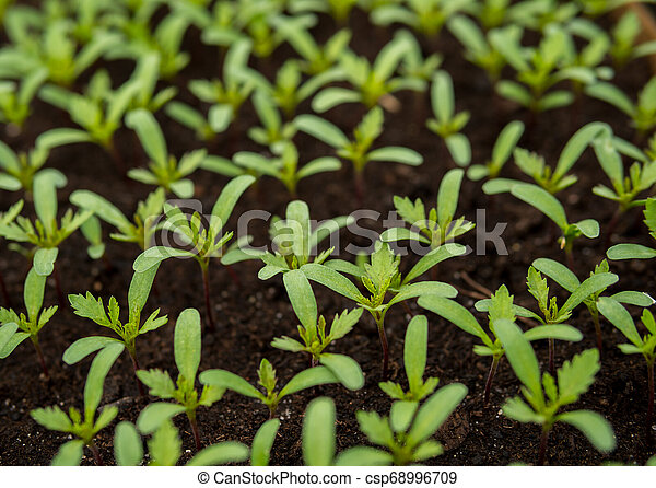 small tomatoes seedlings - csp68996709