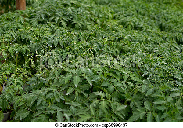 small tomatoes seedlings - csp68996437