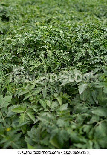 small tomatoes seedlings - csp68996438
