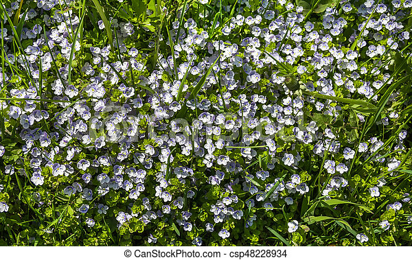 Small white flowers in the grass forget me nots myosotis arvensis small white flowers in the grass csp48228934 mightylinksfo