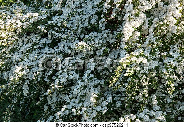 Small white flowers of spiraea in spring morning small white flowers of spiraea csp37526211 mightylinksfo