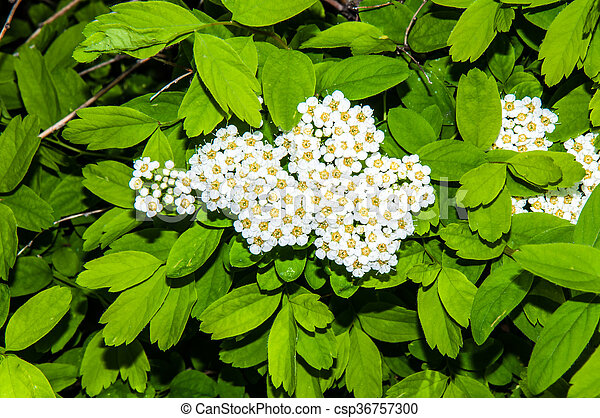 Small white flowers of spiraea - csp36757300