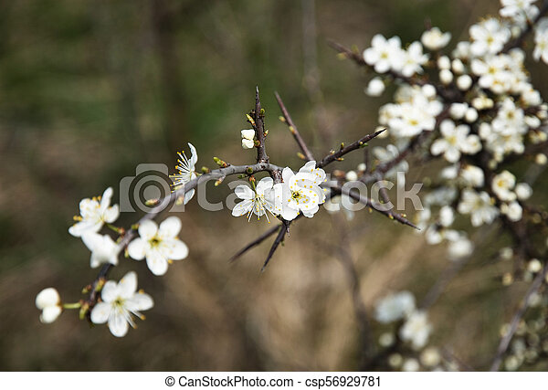 small white flowers of thorns
