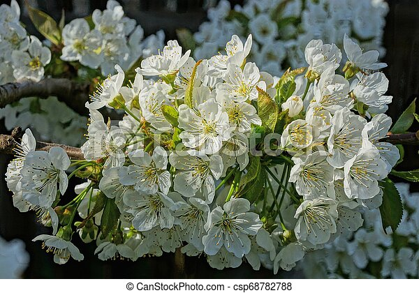 Small White Flowers On An Apple Tree Branch In A Spring Garden