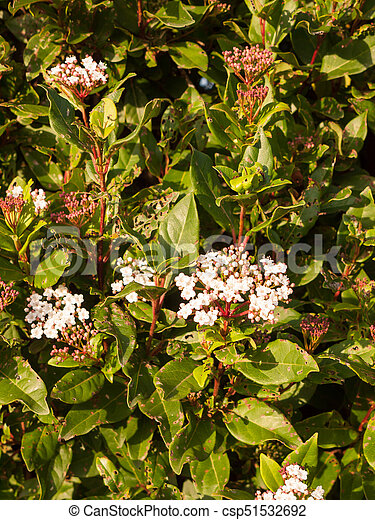 Small white flowers up close soft light bush garden essex england uk small white flowers up close soft light bush garden csp51532692 mightylinksfo