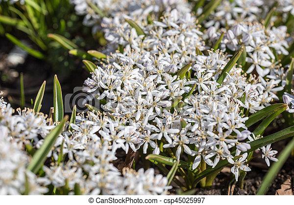 Small white spring flowers closeup scilla bifolia mightylinksfo