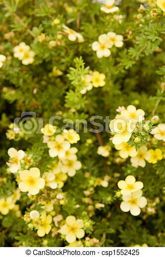 Small yellow flowers on hedge a green hedge covered with small small yellow flowers on hedge csp1552425 mightylinksfo