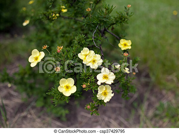 Small yellow flowers on a branch of decorative bush in the spring small yellow flowers csp37429795 mightylinksfo