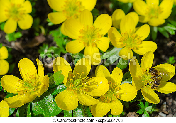 Small yellow spring flowers and bee small yellow spring blooming small yellow spring flowers and bee csp26084708 mightylinksfo