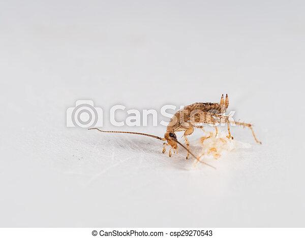 Small, young German cockroach, Blattella germanica, eating crumb. Macro. - csp29270543