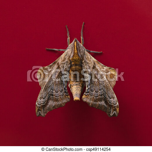 Sưu tập Bộ cánh vẩy 2 - Page 8 Smalle-eyed-sphinx-moth-stock-images_csp49114254