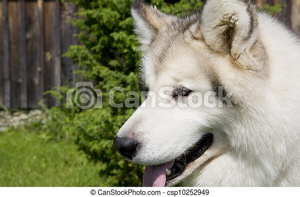 Smart and thoughtful white dog on camera - csp10252949
