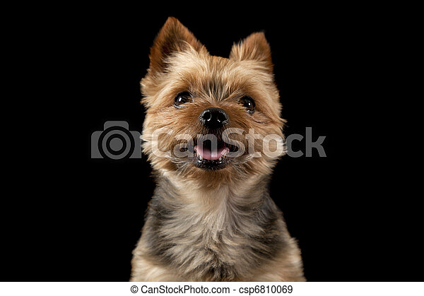Smiling Dog A Miniature Yorkshire Terrier Smiling For The Camera