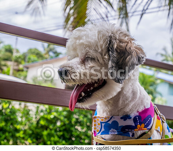 The Female Dog Cute Small Dog Short Hair In Summer Season With Smiling Happy Dog