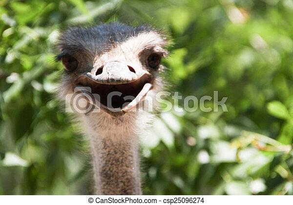 Smiling ostrich large frame - csp25096274
