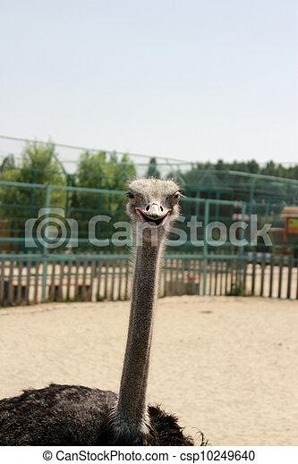 smiling ostrich - csp10249640
