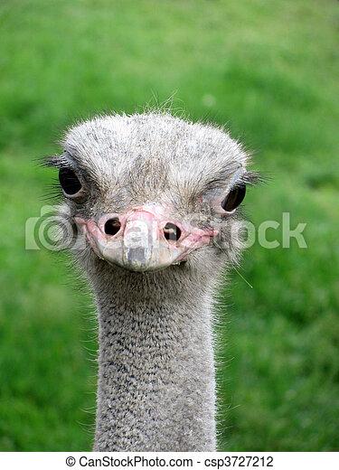 smiling ostrich - csp3727212