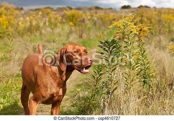 Smiling Vizsla Dog Standing in a Green Field - csp4610727
