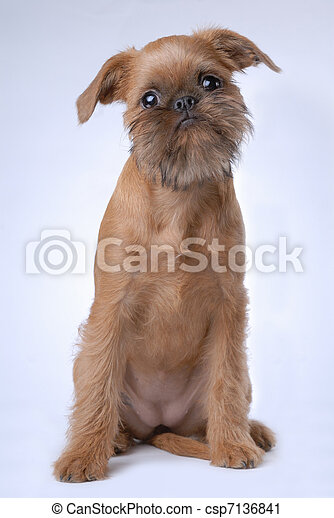 Smooth haired Brussels Griffon puppy - csp7136841