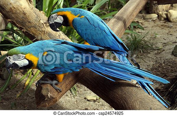 smukke, papegøjer, branch, siddende - csp24574925