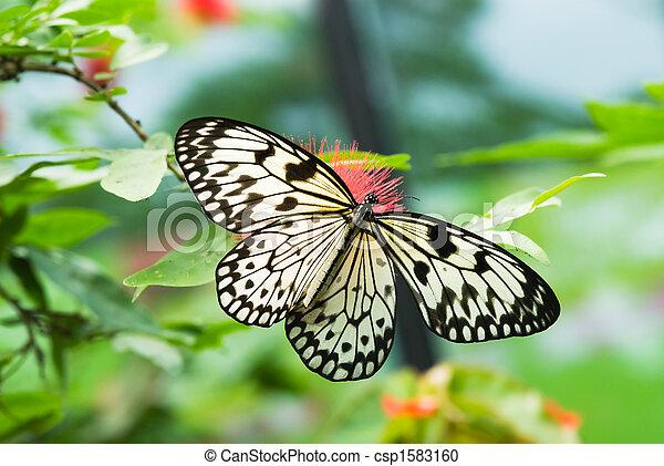 smukke, sommerfugl - csp1583160
