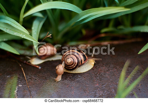Snails in the yard after the rain on the green grass with large dew drops. - csp68468772