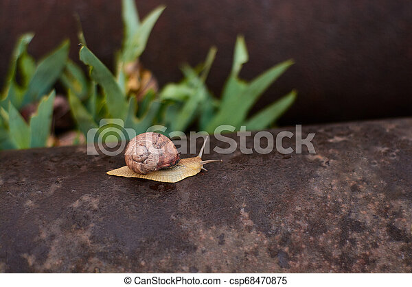 Snails in the yard after the rain on the green grass with large dew drops. - csp68470875