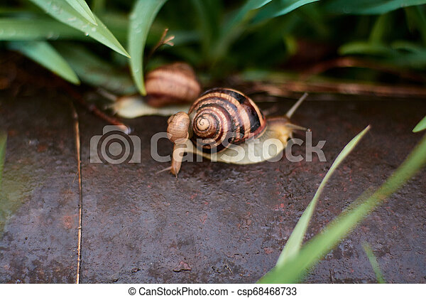 Snails in the yard after the rain on the green grass with large dew drops. - csp68468733