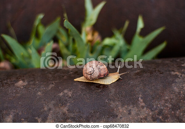 Snails in the yard after the rain on the green grass with large dew drops. - csp68470832