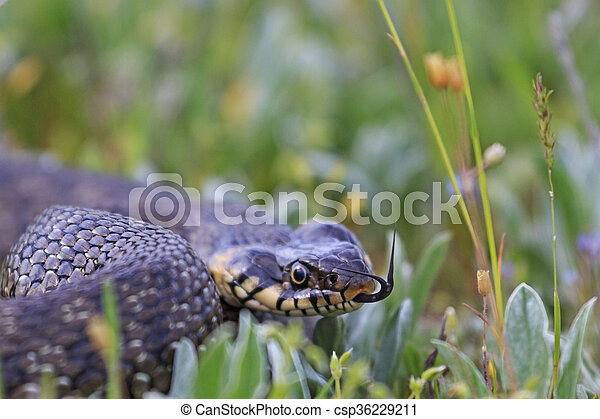 snake in the grass - csp36229211