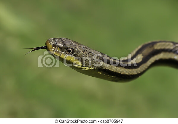 Snake in the grass - csp8705947
